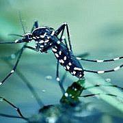 Ибица страдает от опасных тигровых комаров