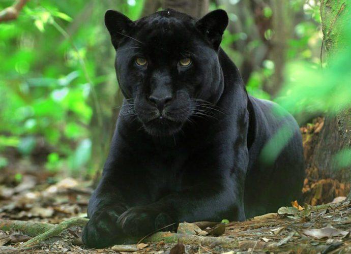 В Гранаде ищут гуляющую черную пантеру