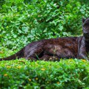 В Гранаде ищут черную пантеру