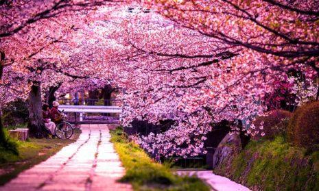 Цветение сакуры в Японии в этом году начнется на 10 дней раньше